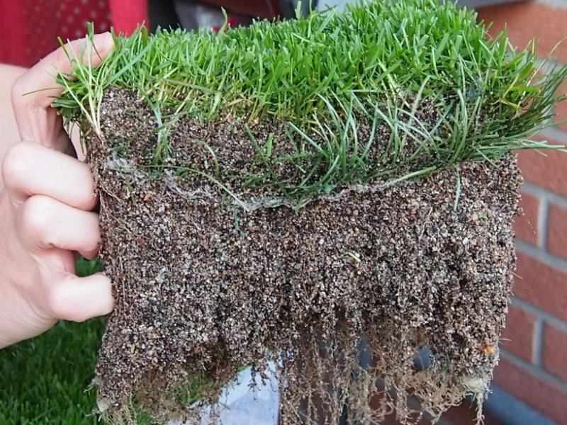 PowerGrass hybrid turfgrass system roots are rich and well anchored in this synthetic turf support